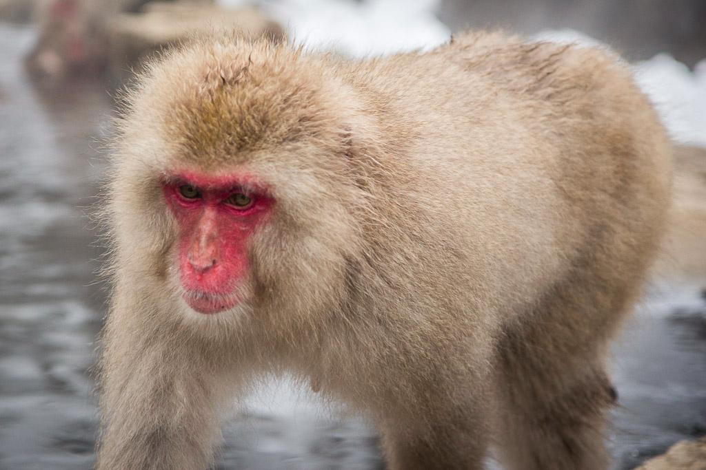also known as snow monkeys Funny Baby Monkey Face